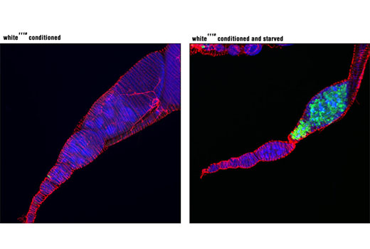 Immunofluorescence Image 2: Cleaved Drosophila Dcp-1 (Asp216) Antibody