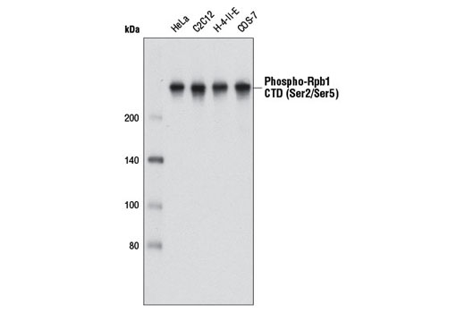 Image 3: Phospho-Rpb1 CTD (Ser2/Ser5) Antibody (IP Preferred)