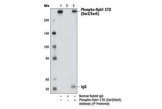 Image 2: Phospho-Rpb1 CTD (Ser2/Ser5) Antibody (IP Preferred)