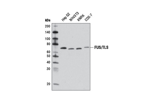 Western blot analysis of extracts from various cell lines using FUS/TLS Antibody.