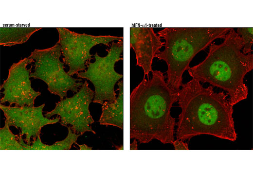 Confocal immunofluorescent analysis of HeLa cells, serum-starved (left) or treated with Human Interferon-α1 (hIFN-α1) #8927 (100 ng/mL, 30 min; right) using Stat3α (D1A5) XP<sup>®</sup> Rabbit mAb (green) and β-Actin (8H10D10) Mouse mAb #3700 (red).