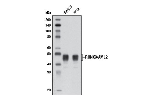 Monoclonal Antibody - RUNX3/AML2 (D6E2) Rabbit mAb - Immunoprecipitation, Western Blotting, UniProt ID Q13761, Entrez ID 864 #9647 - Developmental Biology