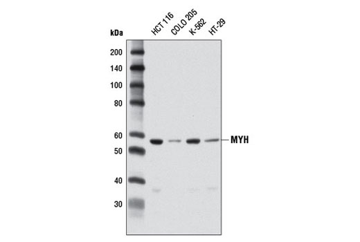 Western blot analysis of extracts from various cell lines using MYH (D13D4) Rabbit mAb.