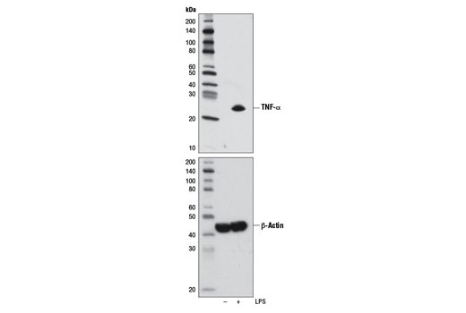 Western blot analysis of extracts from THP-1 cells, differentiated with TPA #4174 (80 nM, overnight) and then untreated (-) or treated with LPS (1 μg/ml, 1 hr; +), using TNF-α (D1G2) Rabbit mAb (IF/Flow Preferred) (upper) or β-Actin (D6A8) Rabbit mAb #8457 (lower).