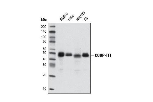 Monoclonal Antibody - COUP-TFI (D4H2) Rabbit mAb - Immunoprecipitation, Western Blotting, UniProt ID P10589, Entrez ID 7025 #6364 - #6364