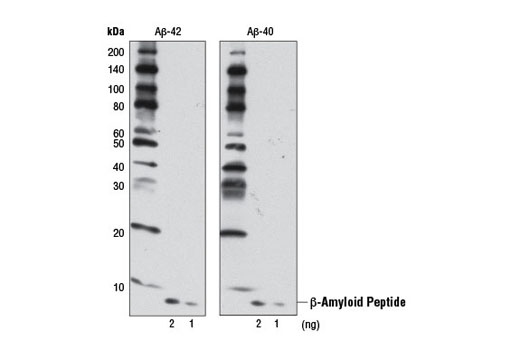 Western blot analysis of the indicated amounts of human Aβ-42 (left) and Aβ-40 (right) peptides using β-Amyloid (D12B2) Rabbit mAb.