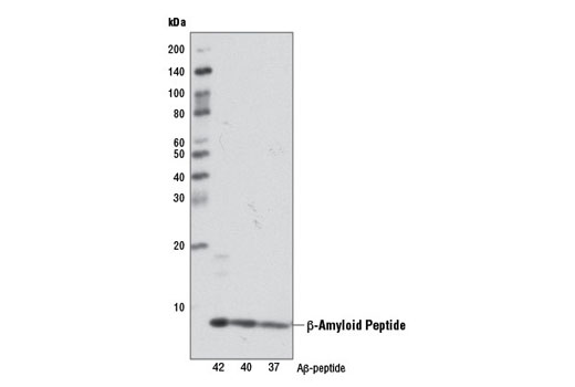Western blot analysis of human Aβ-37, Aβ-40, and Aβ-42 using β-Amyloid (D12B2) Rabbit mAb.