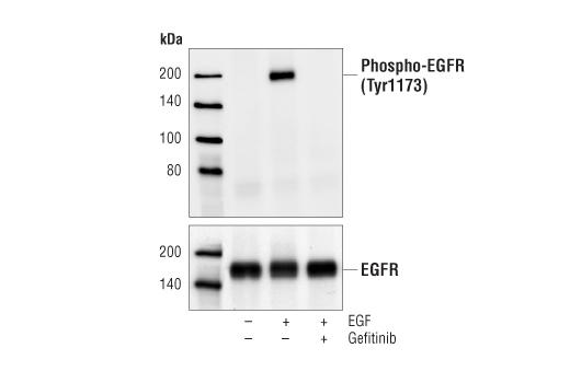 Chemical Modulators - Gefitinib - 10 mg #4765