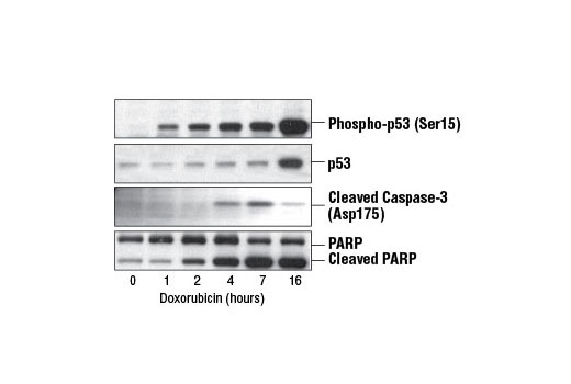 Chemical Modulators - Doxorubicin - 5 mg #5927, Companion Products