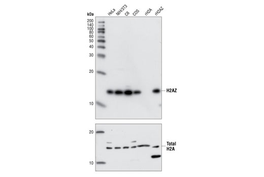 Western blot analysis of HeLa, NIH/3T3, H-4-II-E and COS cell lysates, in addition to 10 ng of recombinant H2A (rH2A) and H2A.Z (rH2A.Z) protein, using Histone H2A.Z Antibody #2718 (upper) and Histone H2A Antibody II #2578 (lower).