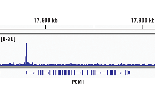 Chromatin immunoprecipitations were performed with cross-linked chromatin from THP-1 cells treated with TPA (12-O-Tetradecanoylphorbol-13-Acetate) #4174 (30ng/ml) overnight and EGR1 (44D5) Rabbit mAb, using SimpleChIP<sup>®</sup> Enzymatic Chromatin IP Kit (Magnetic Beads) #9005. DNA Libraries were prepared using SimpleChIP<sup>®</sup> ChIP-seq DNA Library Prep Kit for Illumina<sup>®</sup> #56795. The figure shows binding across PCM1, a known target gene of EGR1 (see additional figure containing ChIP-qPCR data). For additional ChIP-seq tracks, please download the product data sheet.