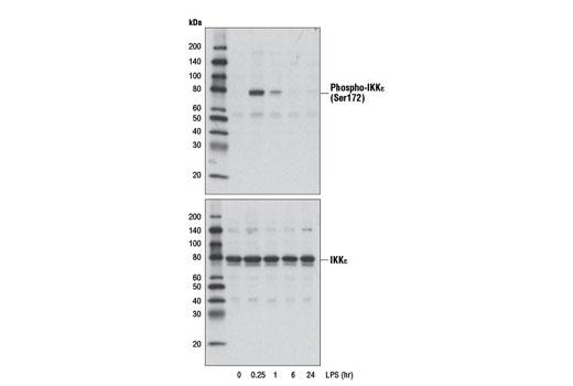 Monoclonal Antibody - Phospho-IKKε (Ser172) (D1B7) Rabbit mAb, UniProt ID Q14164, Entrez ID 9641 #8766 - Immunology and Inflammation