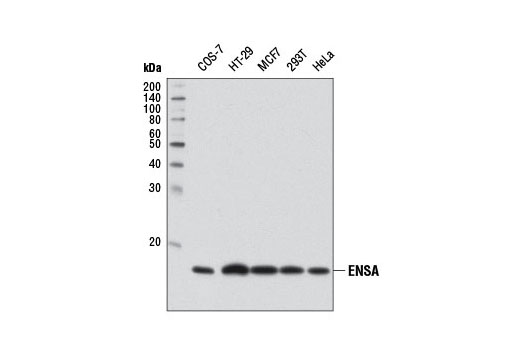 Western blot analysis of extracts from various cell lines using ENSA Antibody.