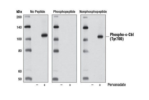 Western blot analysis of extracts from Jurkat cells, untreated (-) or treated with pervanadate (1 mM; +), using Phospho-c-Cbl (Tyr700) (D16D7) Rabbit mAb (left). The phospho-specificity of the antibody was verified by preincubating the antibody with c-Cbl (Tyr700) phosphopeptide (center) or with c-Cbl (Tyr700) nonphosphopeptide prior to incubation with the membrane (right).
