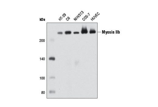 Western blot analysis of extracts from various cell types using Myosin IIb (D8H8) XP<sup>®</sup> Rabbit mAb.