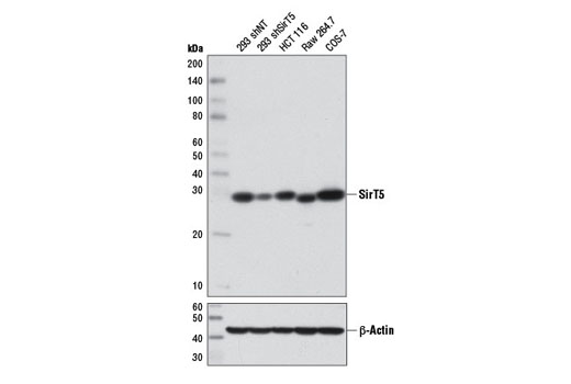 Western blot analysis of extracts from 293 cells, expressing either nontargeting shRNA (293 shNT) or shRNA targeting SirT5 (293 shSirT5), and HCT 116, Raw 264.7, and COS-7 cells using SirT5 (D5E11) Rabbit mAb (upper) or β-Actin (D6A8) Rabbit mAb #8457 (lower). 293 shNT and 293 shSirT5 cells were kindly provided by David Lombard, University of Michigan.