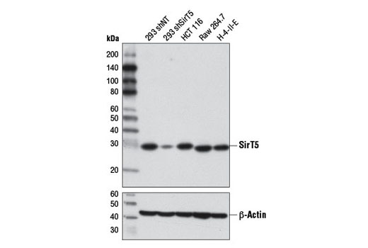 Western blot analysis of extracts from 293 cells, expressing either nontargeting shRNA (293 shNT) or shRNA targeting SirT5 (293 shSirT5), and HCT 116, Raw 264.7, and H-4-II-E cells using SirT5 (D8C3) Rabbit mAb (upper) or β-Actin (D6A8) Rabbit mAb #8457 (lower). 293 shNT and 293 shSirT5 cells were kindly provided by David Lombard, University of Michigan.