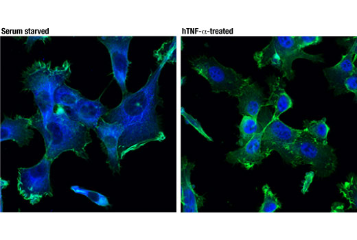 Confocal immunofluorescent analysis of HT-1080 cells, serum starved overnight (left) or treated with hTNF-α (20 ng/mL, 30 min; right), using NF-κB p65 (D14E12) XP<sup>®</sup> Rabbit mAb (Alexa Fluor<sup>®</sup> 647 Conjugate) (pseudocolor blue). Actin filaments were labeled with DyLight™ 488 Phalloidin #12935 (green).