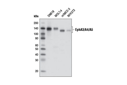 Monoclonal Antibody Transmembrane-Ephrin Receptor Activity