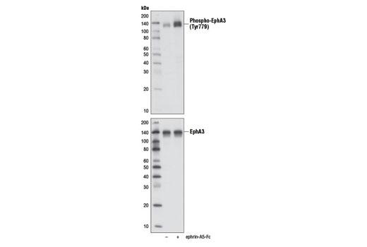 Monoclonal Antibody Immunoprecipitation epha3 - count 2
