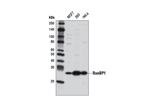 Human Ran Gtpase Binding - count 20