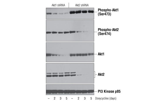 Western blot analysis of extracts from LNCaP cells, transfected with a construct expressing Akt1 shRNA or Akt2 shRNA, uninduced (-) or doxycycline-induced for the indicated times, using Phospho-Akt1 (Ser473) (D7F10) XP<sup>®</sup> Rabbit mAb (Akt1 Specific) (top), Phospho-Akt2 (Ser474) (D3H2) Rabbit mAb (Akt2 Specific) #8599 (2nd from top), Akt1 (C73H10) Rabbit mAb #2938 (middle), Akt2 (D6G4) Rabbit mAb #3063 (2nd from bottom), or PI3 Kinase p85 (19H8) Rabbit mAb #4257 (bottom). (Data kindly provided by Drs. Rebecca Chin and Alex Toker, Beth Israel Deaconess Medical Center and Harvard Medical School, Boston, MA).