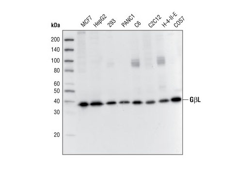 Western blot analysis of extracts from various cell lines, using GβL (86B8) Rabbit mAb.