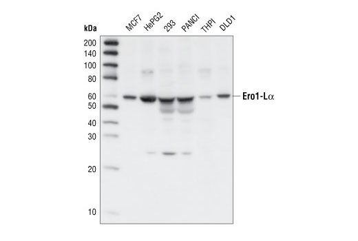 Western blot analysis of extracts from various cell lines, using Ero1-Lα Antibody.