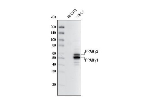 Western blot analysis of extracts from NIH/3T3 and 3T3-L1 cells (differentiated 6 days) using PPARγ (81B8) Rabbit mAb.