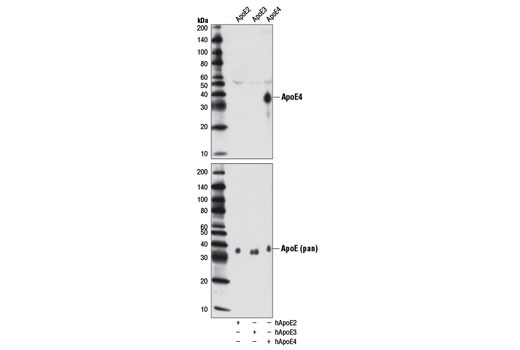 Western blot analysis of extracts from HeLa cells, transfected with a construct expressing full-length human ApoE2 (hApoE2; +), ApoE3 (hApoE3; +), or ApoE4 (hApoE4; +), using ApoE4 (4E4) Mouse mAb (upper) or a pan ApoE antibody (lower).