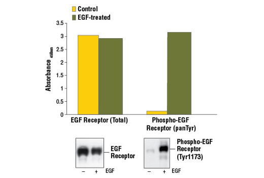 Figure 1. Treatment of A-431 cells with hEGF #8916 stimulates tyrosine phosphorylation of EGF receptor detected by PathScan<sup>®</sup> Phospho-EGF Receptor (panTyr) Sandwich ELISA Kit #7911, but does not affect the level of total EGF receptor detected by PathScan<sup>®</sup> Total EGF Receptor Sandwich ELISA Kit #7250. The absorbance readings at 450 nm are shown in the top figure, while the corresponding western blots using EGF Receptor Antibody #2232 (left panel) or Phospho-EGF Receptor (Tyr1173) (53A2) Rabbit mAb #4407 (right panel) are shown in the bottom figure.