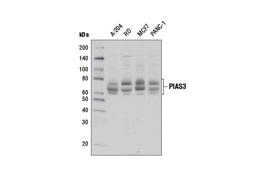 Western blot analysis of extracts from various cell lines using PIAS3 (D5F9) XP<sup>®</sup> Rabbit mAb.