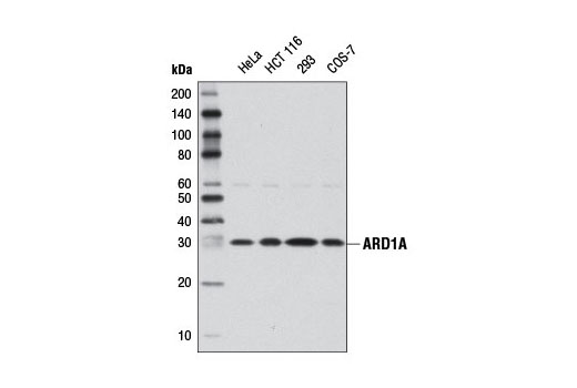 Western blot analysis of extracts from various cell lines using ARD1A Antibody.