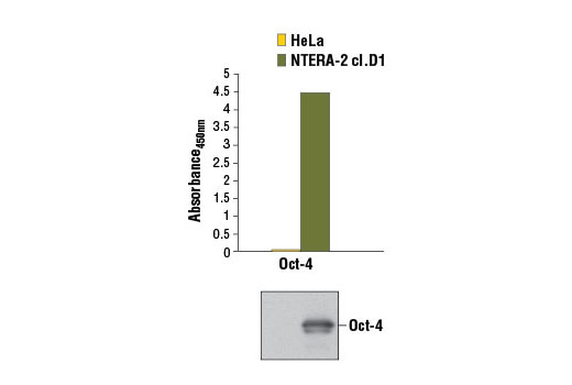 Figure 1. The expression of Oct-4A can only be detected in embryonic cells, such as NTERA-2 cl.D1 cells, but not in non-embryonic cells, such as HeLa cells, as detected by the PathScan<sup>®</sup> Total Oct-4A Sandwich ELISA Kit. HeLa and NTERA-2 cl.D1 cells (90% confluent) were lysed. The absorbance readings at 450 nm are shown in the top figure, while the corresponding western blot using Oct-4A (C30A3) Rabbit mAb #2840 is shown in the bottom figure.