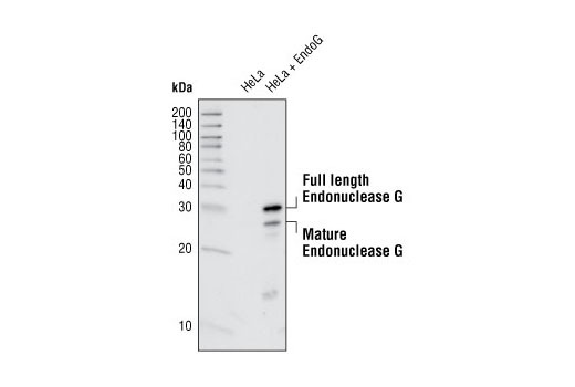 Western blot analysis of extracts from HeLa cells transfected with mouse EndoG, using Endonuclease G Antibody.