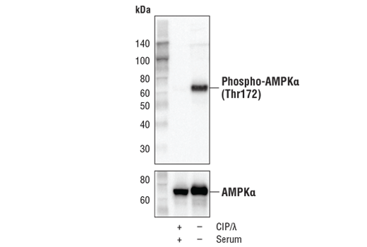 Western Blotting Image 1: AMPK Control Cell Extracts