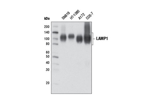 Western Blotting Image 1: LAMP1 (D2D11) XP® Rabbit mAb