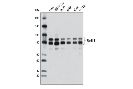 Western blot analysis of extracts from various cell lines using Rad18 (D2B8) XP<sup>®</sup> Rabbit mAb.