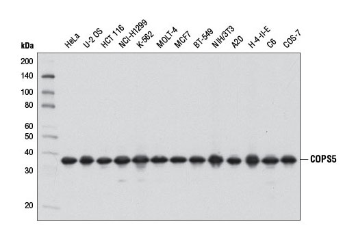 Western blot analysis of extracts from various cell lines using COPS5 (D15G6) Rabbit mAb.