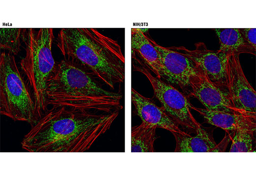 Confocal immunofluorescent analysis of HeLa (left) and NIH/3T3 (right) cells using Mitofusin-2 (D2D10) Rabbit mAb (green). Actin filaments were labeled with DY-554 phalloidin (red). Blue pseudocolor = DRAQ5<sup>®</sup> #4084 (fluorescent DNA dye).