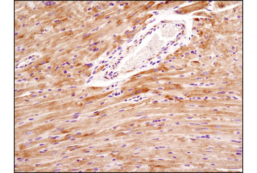 Immunohistochemical analysis of paraffin-embedded mouse heart using Mitofusin-2 (D2D10) Rabbit mAb.
