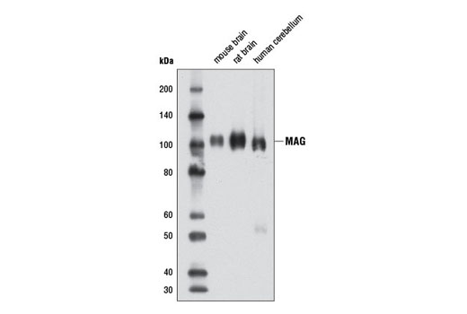 Western blot analysis of extracts from mouse brain, rat brain, and human cerebellum using MAG (D4G3) XP<sup>®</sup> Rabbit mAb.