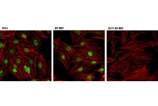 Confocal immunofluorescent analysis of HeLa (positive; left), WT MEF (positive; middle), and SirT1 KO MEF (right) cells using SirT1 (D1D7) Rabbit mAb (green). Actin filaments were labeled with DY-554 phalloidin (red). WT and KO MEF were kindly provided by Wenyi Wei, Harvard Medical School.