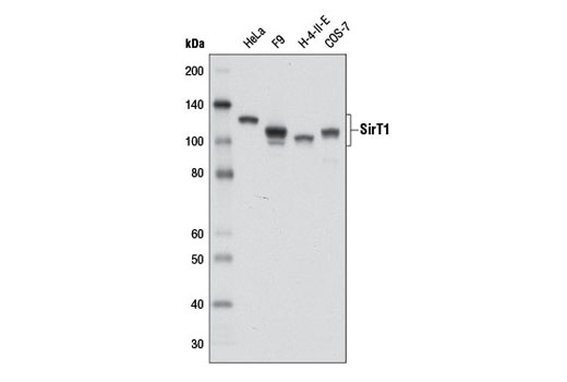 Western blot analysis of extracts from various cell lines using SirT1 (D1D7) Rabbit mAb.
