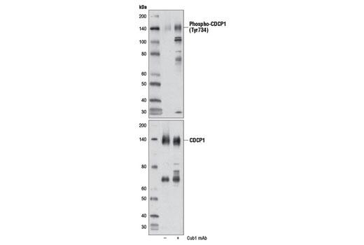 Polyclonal Antibody - Phospho-CDCP1 (Tyr734) Antibody - Western Blotting, UniProt ID Q9H5V8, Entrez ID 64866 #9050 - Primary Antibodies