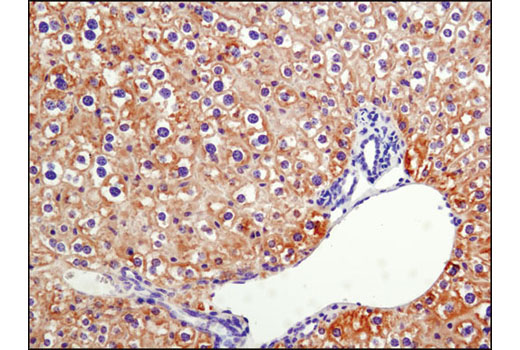 Immunohistochemical analysis of paraffin-embedded mouse liver using Phospho-Acetyl-CoA Carboxylase (Ser79) (D7D11) Rabbit mAb.