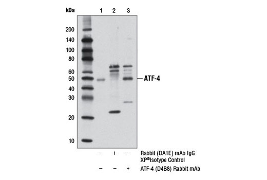 Immunoprecipitation of ATF-4 from extracts of 293 cells, treated with tunicamycin (2 μg/ml, 8 hr), using Rabbit (DA1E) mAb IgG XP<sup>®</sup> Isotype Control #3900 (lane 2) or ATF-4 (D4B8) Rabbit mAb (lane 3). Lane 1 is 10% input. Western blot analysis was performed using ATF-4 (D4B8) Rabbit mAb. Mouse Anti-rabbit IgG (Light-Chain Specific) (L57A3) mAb #3677 and Anti-mouse IgG, HRP-linked Antibody #7076 were used as secondary antibodies.