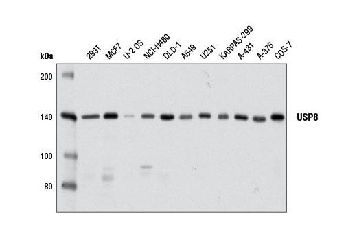 Monoclonal Antibody - USP8 (D18F6) Rabbit mAb - Immunoprecipitation, Western Blotting, UniProt ID P40818, Entrez ID 9101 #11832 - Ubiquitin and Ubiquitin-Like Proteins