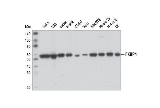 Western blot analysis of extracts from various cell lines using FKBP4 Antibody.