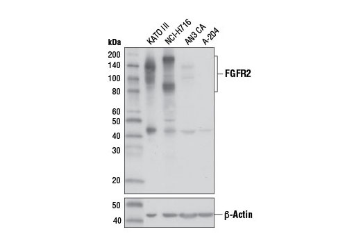 Western blot analysis of extracts from various cell lines using FGF Receptor 2 (D4H9) Rabbit mAb (upper) or β-Actin (D6A8) Rabbit mAb #8457 (lower).